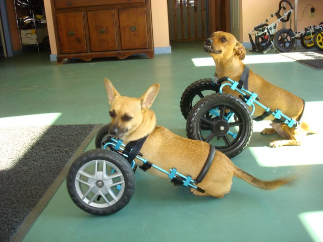 Small Dogs Good With Wheelchairs