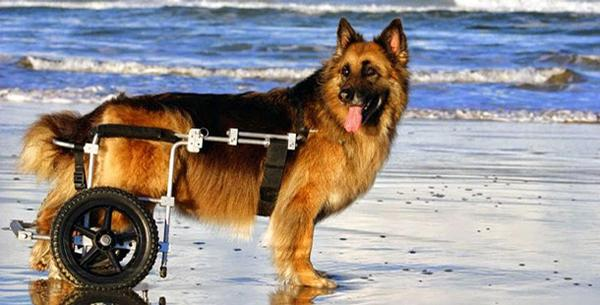 Hunter, a GSD with variable axle cart
