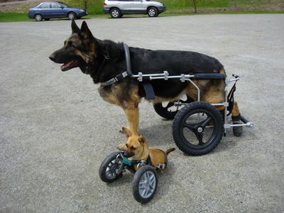 Large Dog - A large dog wheelchair, compared to the tiny Willa sized front wheel cart