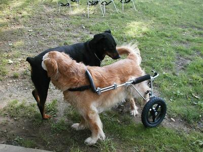 Chloe & Toby Sniff - Dogs will be dogs, even dogs in dog wheelchairs
