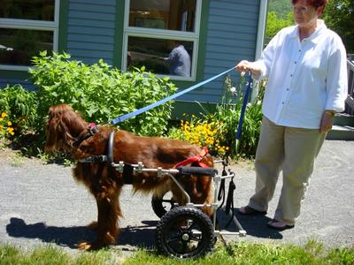 Setter - Walking once more in a large dog wheelchair