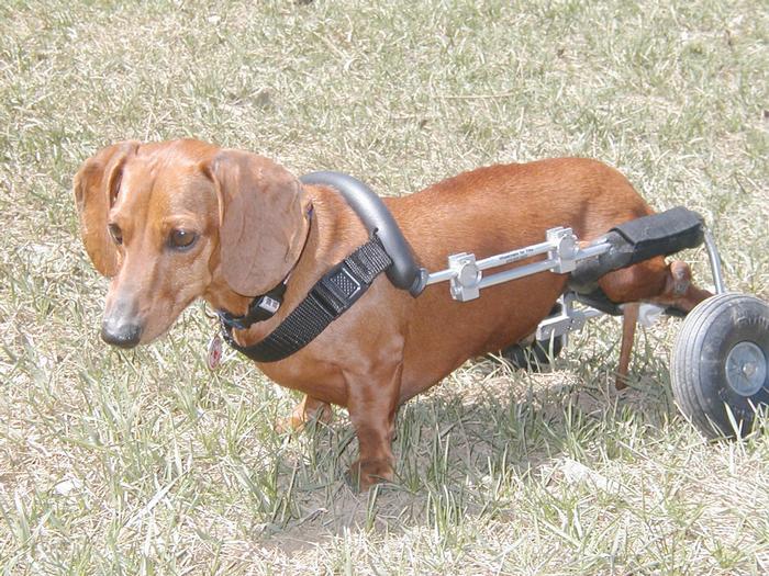 Dachshund Dog Wheelchair 2 Eddie S Wheels For Pets