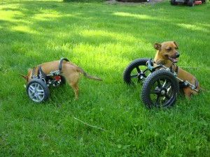 Front-Wheel Carts - Eddie's Wheels for Pets - The Pet