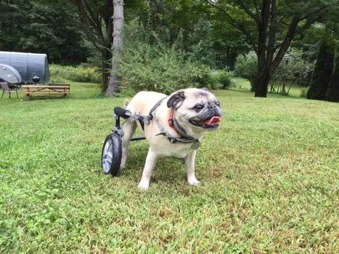 Pug Myelopathy: How a Balanced Cart Can Help - Eddie's Wheels for