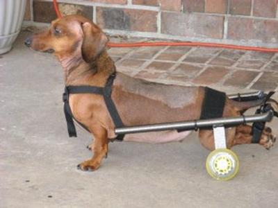 dog wheelchair comparisons for dachshunds eddie s wheels for pets