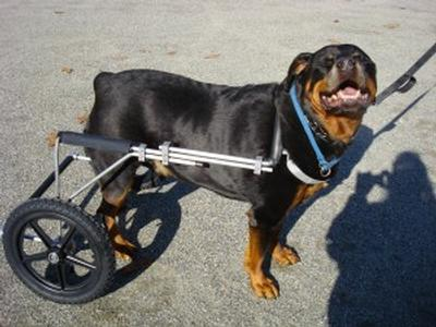 managing acl injuries in large breeds with dog wheelchairs eddie s