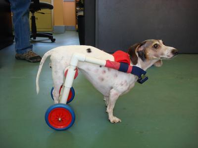dog wheelchairs for dogs with intervertebral disk disease eddie s